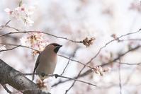 桜とレンジャクⅣ - いのち煌めいて