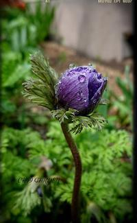 アネモネのつぼみにうっとり♡とブルーベリーの可愛い花 - どんぐりの木の下で……