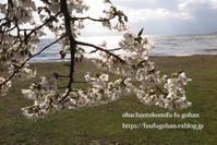 桜は、美しく咲き誇っています&昨夜の鴨鍋御膳 - おばちゃんとこのフーフー(夫婦)ごはん