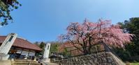 4月4日の桜巡り/永泉寺@福島県須賀川市 - 963-7837