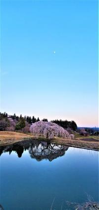 4月4日の桜巡り/花園しだれ桜/後編@福島県棚倉町 - 963-7837