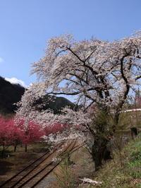 桜だより(22) わ鉄&桜&花桃⑤ (2020/4/2撮影) - toshiさんのお気楽ブログ