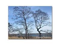 ウトナイ湖まで遠出 - 雪割草 - Primula modesta -