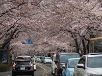 相模原市役所通り付近の桜 - Free Shot ほっと一息