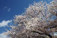 桜満開の室見川!パート2 - 素奈男のお気楽ブログ