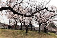 藤田八束の貨物列車写真@兵庫県西宮市夙川公園は満開の桜模様、春爛漫と貨物列車の写真・・・JRさくら夙川駅から - 藤田八束の日記