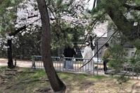 藤田八束の桜・春爛漫@夙川公園の桜と貨物列車の写真、最大のイベント結婚式はどうされるのですか、若い二人の幸せを祈ります。 - 藤田八束の日記
