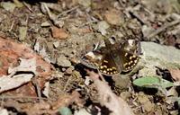 令和2年スプリングエフェメラルその5 - 紀州里山の蝶たち
