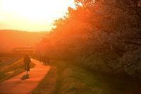 多摩川・夕日に包まれる桜並木 - 萩原義弘のすかぶら写真日記