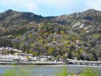 京都市 最後の桜? 嵐山 - 転勤日記