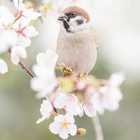 桜とスズメ - エーデルワイスPhoto