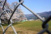 桜便り~5 - きょうから あしたへ その2