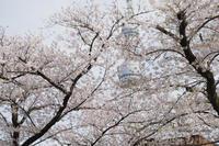 【定点撮影】浅草の桜とスカイツリー - 岡本代表の「本日の1枚」
