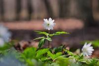 純白のキクザキイチゲ。何と美しき森のお姫様よ!♪ - 『私のデジタル写真眼』