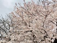桜満開の中🌸営業中 - ホリスティックセラピー Rosewood ∞ space
