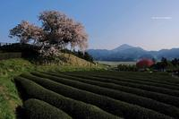 納戸料の百年桜 - A  B  C