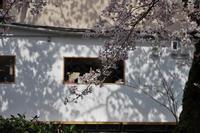 哲学の道の桜のつづき - Taro's Photo
