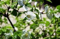 白山吹 - 花と風の薫り