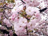 新宿御苑の桜一葉 - しらこばとWeblog