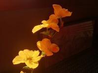 山吹色の春… - 侘助つれづれ
