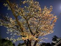 静岡浅間神社の夜桜(i-Phone11ナイトモード) - ブリキの箱