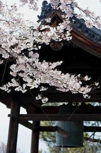 京都桜開花状況(4月2日)高台寺の枝垂れ桜 - Turfに魅せられて・・・(写真紀行)