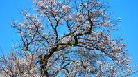 桜パトロールその①2020年4月3日 - -浮世闊歩-