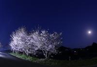 夜桜とヤマセミ(交尾) - 月の沙漠を