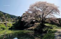 ジラカンス桜 - A  B  C
