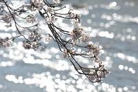 見る人がいなくても桜は咲きます - スポック艦長のPhoto Diary