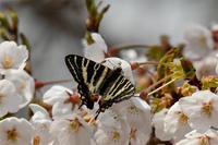 桜にギフ - 蝶と自然の物語
