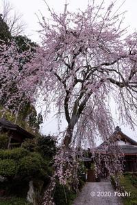 大宇陀桜 - toshi の ならはまほろば