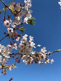 粘り強い今年の桜 - 秋田犬「大和と飛鳥丸」の日々Ⅱ