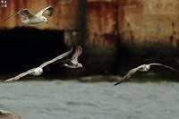 オオセグロカモメが魚をゲット! - 野鳥公園