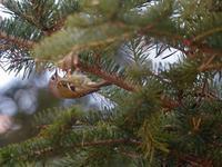 山麓の森にて(キクイタダキと山野草ほか) - トドの野鳥日記