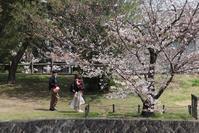 藤田八束の鉄道写真@桜の名所夙川公園の桜が満開、さくら夙川駅からの鉄道写真、元気な貨物列車と満開の桜 - 藤田八束の日記