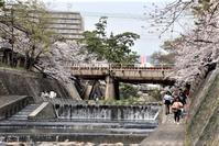 藤田八束の鉄道写真@夙川公園の桜と貨物列車のコラボ写真、貨物列車に桜は素晴らしい情景を作る。貨物列車も楽しそう - 藤田八束の日記