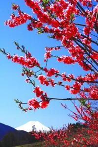 令和2年3月の富士(30)上野原の花桃の里の富士 - 富士への散歩道 ~撮影記~