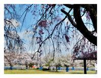桜と山吹 - あおいそら
