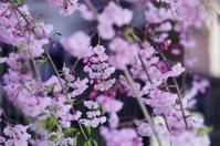 しだれ桜 - 生きる。撮る。