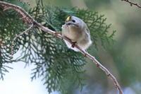 キクイタダキ - 気まぐれ野鳥写真