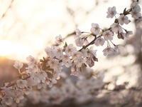 夕桜 - MPG