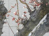 梅の花が開花 - 日頃の思いと生理学・病理学的考察