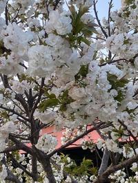 荒川土手の桜並木♪ - 自然と遊楽