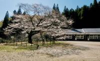 久保山の山桜 - A  B  C