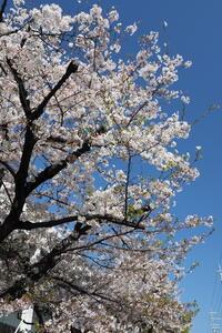 三菱自動車の桜 - Taro's Photo