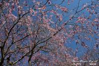 枝垂れ桜 - フォト エチュード  Photo-Etudes