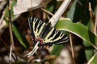 春の妖精・・ギフチョウ - 続・蝶と自然の物語