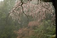 権現桜 - toshi の ならはまほろば