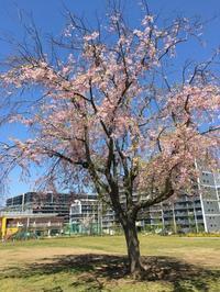 記念桜 - 優しい風のなかで